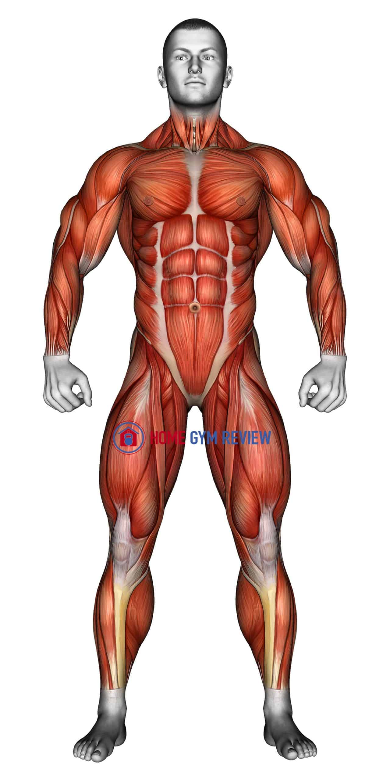 Body muscles. Front view