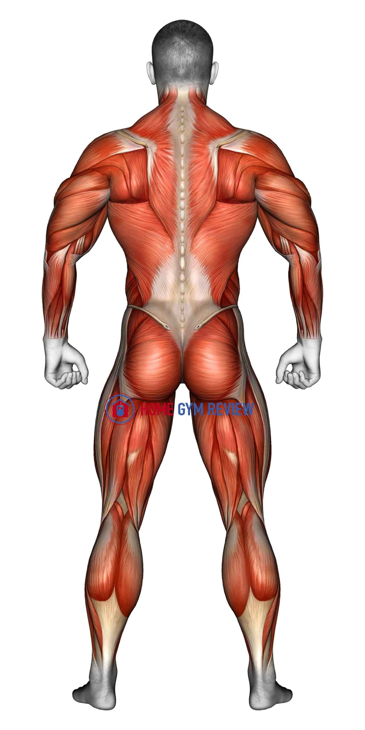 Body muscles. Back view
