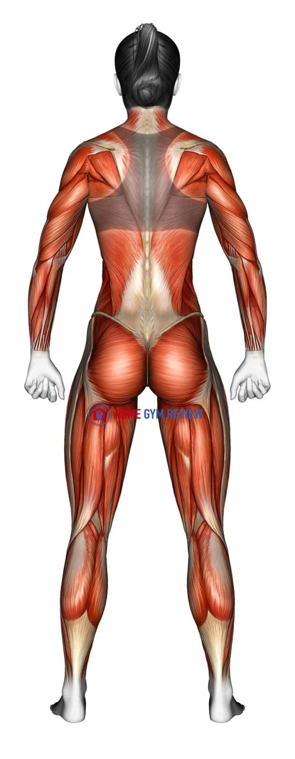 Body muscles. Female. Back view