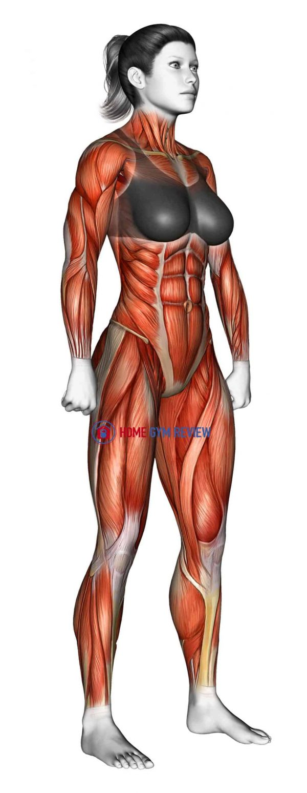 Body muscles. Female. Side view