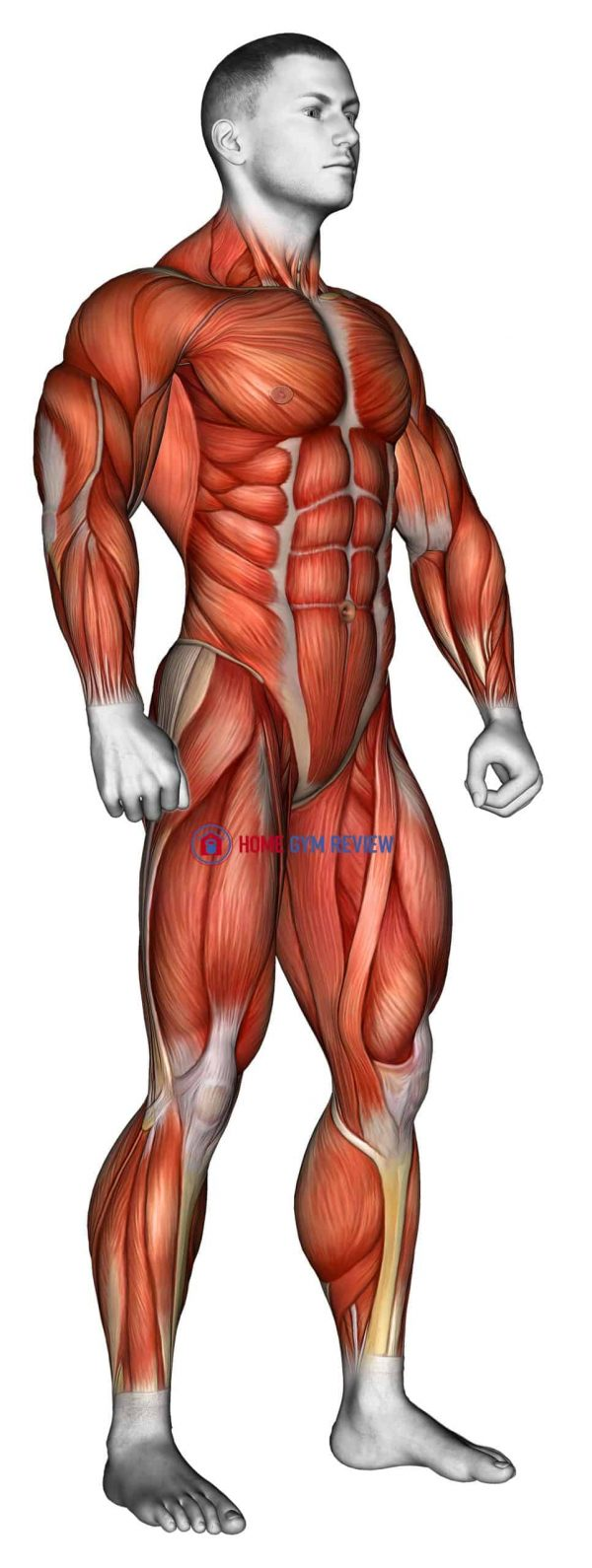 Body muscle male SIDE FRONT view