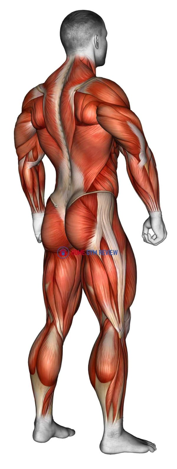 Body muscle male SIDE BACK view